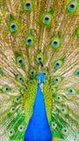 Spectaculair portret van een pauw die voorzijde onder ogen zien royalty-vrije stock fotografie