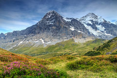 Spectacular alpine landscape with mountain flowers,Switzerland,Europe. Majestic colorful alpine flowers and the famous Eiger north face in background,Grindelwald Royalty Free Stock Photography