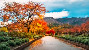 Spectacular autumn colors after rain in Fujikawaguchiko, Japan. Spectacular nature after rain in autumn at a park in Fujikawaguchiko, a resort town on the side stock image