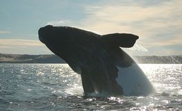 Spectacular Black and white whale jumping. Huge black and white Patagonian whale flying Royalty Free Stock Photos