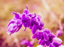 Spectacular close up from a mexican salvia blossom stock photography
