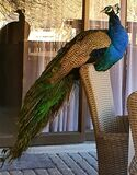 Spectacular peacock, photographed in South Africa