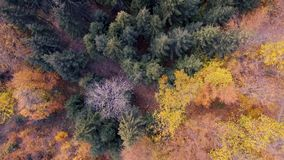 Spectacular drone footage of a overhead view of a autumn forest in the Swiss Alpine mountains. The drone looks directly down on the brightly colored leaves and stock footage