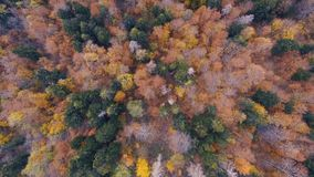 Spectacular drone footage of a overhead view of a autumn forest in the Swiss Alpine mountains. The drone looks directly down on the brightly colored leaves and stock video footage