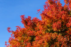 Spectacular fall colors. Tree top in full, fiery autumn colors on a sunny november afternoon in Northern California royalty free stock image