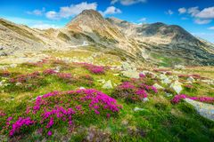 Spectacular fields of rhododendron flowers in Retezat mountains, Carpathians, Romania Royalty Free Stock Image
