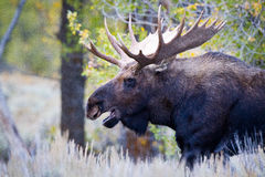 Spectacular Image of Bull Moose. Autumn early morning picture of bull moose. Large full set of antlers, autumn colored trees in background. Moose's mouth is open Royalty Free Stock Image