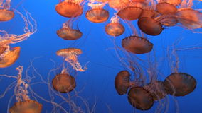 Spectacular Jellyfish stock video