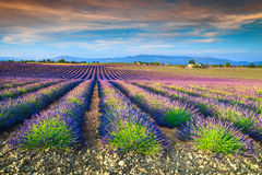 Spectacular lavender fields in Provence region, Valensole, France, Europe Royalty Free Stock Photo