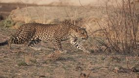 Spectacular Leopard in super slow motion. Profile view of wild Leopard stalking in super slow motion stock video