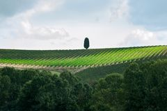 Spectacular magical Tuscany vineyard curves in valleys with green cipress royalty free stock photo