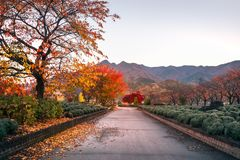 Spectacular morning after sunrise on an autumn path, Japan. Spectacular morning after sunrise on an autumn path in a park at Fujikawaguchiko, a resort town on stock photography