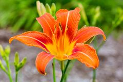 Orange Day Lily Vibrant Bloom. Spectacular orange and yellow bloom on this wild Orange Day Lily is breathtaking, despite some of its other common, belittling Stock Photography