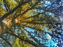 Look up. Spectacular pine in the middle of the forest Royalty Free Stock Photos