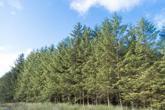 Spectacular pine tree forest Royalty Free Stock Photos