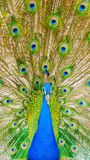 Spectacular portrait of a peacock facing front. royalty free stock photography