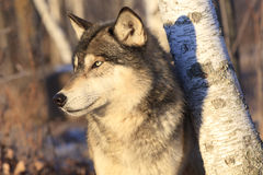 Spectacular portrait of timber  wolf Royalty Free Stock Photo