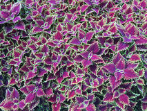 Spectacular purple coleus plants Stock Photo