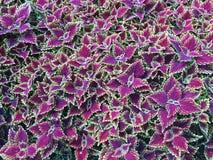 Spectacular purple coleus plants Stock Photo