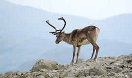 Spectacular reindeer Royalty Free Stock Photo