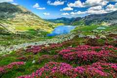 Spectacular rhododendron flowers and Bucura mountain lakes,Retezat mountains,Romania. Alpine glacier lake,high mountains and stunning pink rhododendron flowers stock photos