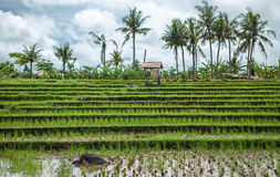 Spectacular rice fields in the jungle Stock Images