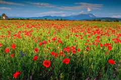Spectacular summer landscape with red poppy field,Transylvania,Romania,Europe Royalty Free Stock Image