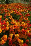 A spectacular swathe of bright orange Helenium flowers, glowing in the August sun. Royalty Free Stock Images