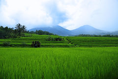 Spectacular terraced rice fields of Jatiluwih Royalty Free Stock Photography