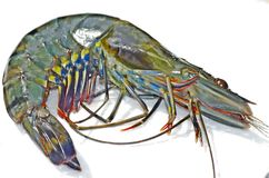 A spectacular tiger prawn Royalty Free Stock Images