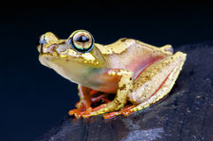 Spotted Malagasy Tree Frog / Boophis picturatus Royalty Free Stock Image