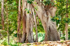 Spectacular view of hanging roots of a great tree. A spectacular view of hanging roots of a great tree royalty free stock photos