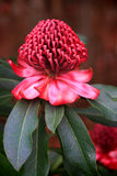 Spectacular Waratah flowering in the garden. The showy flowers of the waratah consist of many small flowers densely packed into conical or peaked dome-shaped Royalty Free Stock Photography
