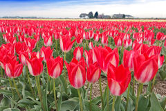 Spectacular White Red Tulips Bulb Field Stock Photos
