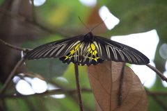 Spectacular yellow and black butterfly at Chatuchak Park Bangkok Stock Photography