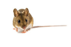 Spectateur de observation de souris de champ Photographie stock libre de droits