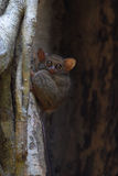 Spectral tarsier. In a tree at Tangkoko forest (North Sulawesi, Indonesia Stock Photo