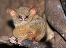 Spectral Tarsier. (Tarsius Spectrum/Tarsius Tarsier), Tangkoko National Park, North Sulawesi, Indonesia Stock Photos