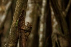 Spectral Tarsier, Tarsius, portrait of rare endemic nocturnal mammal trying to catch and eat grasshopper, cute primate in large. Ficus tree in jungle, Tangkoko royalty free stock photography