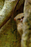 Spectral Tarsier, Tarsius spectrum, hidden portrait of rare nocturnal animal,  in the large ficus tree, Tangkoko National Park, Su Stock Photography
