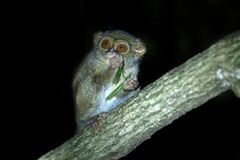 Spectral Tarsier, Tarsius spectrum, portrait of rare endemic nocturnal mammal eating grasshopper, small cute primate in large. Ficus tree in jungle, Tangkoko stock image