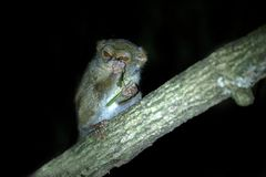 Spectral Tarsier, Tarsius spectrum, portrait of rare endemic nocturnal mammal eating grasshopper, small cute primate in large. Ficus tree in jungle, Tangkoko royalty free stock image