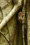 Spectral Tarsier, Tarsius spectrum, portrait of rare endemic nocturnal mammals, small cute primate in large ficus tree in jungle,. Tangkoko National Park stock photos