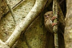 Spectral Tarsier, Tarsius spectrum, portrait of rare endemic nocturnal mammals, small cute primate in large ficus tree in jungle,. Tangkoko National Park stock photography