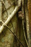 Spectral Tarsier, Tarsius spectrum, portrait of rare endemic nocturnal mammals, small cute primate in large ficus tree in jungle,. Tangkoko National Park stock image