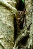 Spectral Tarsier, Tarsius spectrum, portrait of rare endemic nocturnal mammals, small cute primate in large ficus tree in jungle,. Tangkoko National Park royalty free stock photo