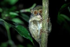 Spectral Tarsier, Tarsius spectrum, portrait of rare endemic nocturnal mammals, small cute primate in large ficus tree in jungle,. Tangkoko National Park royalty free stock image