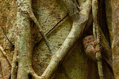 Spectral Tarsier, Tarsius spectrum, portrait of rare nocturnal animal, in the nature habitat, large ficus tree, Tangkoko National stock photo
