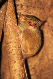 Spectral Tarsier Royalty Free Stock Image