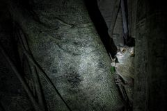 Spectrale Tarsier, Tarsius-spectrum, portret van zeldzaam endemisch nachtelijk zoogdier die sprinkhaan, kleine leuke primaat in g royalty-vrije stock foto's
